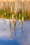 Reeds and reflections on pond and Fall color Stock Photo