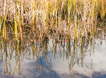 Reeds and reflections on pond and Fall color Royalty Free Stock Images