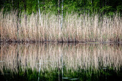 Reeds reflections in water. Royalty Free Stock Photography