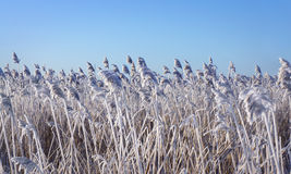 Reeds with rime frost Stock Photography