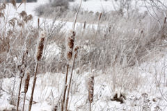 Reeds with rime Royalty Free Stock Photo