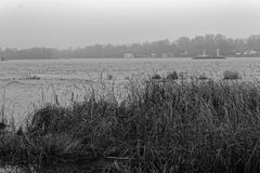 Reeds in the rive, Swaying Reed background, monochrome image Royalty Free Stock Photo