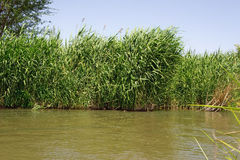 Reeds at river Royalty Free Stock Photography