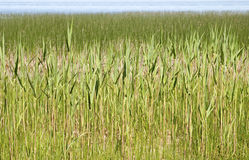 Reeds on a river bank Stock Photography