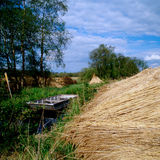 Reeds by the river bank. Cut reeds by a river in Norfolk stock image