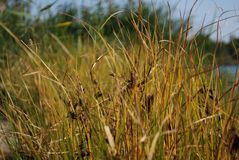 Reeds on the river bank. Marsh plant royalty free stock photo