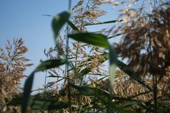 Reeds on the river bank. Marsh plant, the common reed. royalty free stock photo