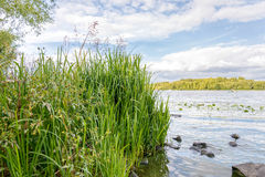 Reeds on the River Bank Royalty Free Stock Photos