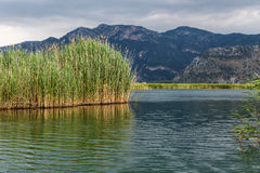 Reeds in River Royalty Free Stock Image