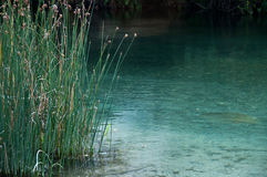 Reeds on river edge Royalty Free Stock Photo