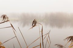 Reeds by the river on a foggy day Royalty Free Stock Photo