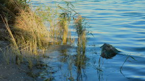 Reeds on a river shoreline stock footage