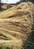 reeds riverbank Стоковое Изображение RF