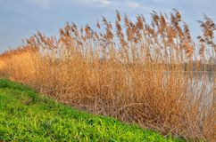 Reeds and rushes Stock Photo
