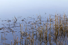 Reeds in salt water Stock Image