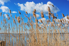 Reeds at the sea Stock Images