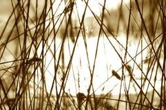 reeds sepia Стоковое фото RF
