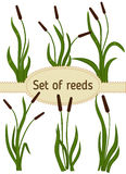 Reeds. Set of reeds. Сanes on a white background Royalty Free Stock Image