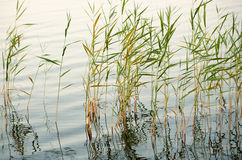 Reeds in shallow water Royalty Free Stock Image