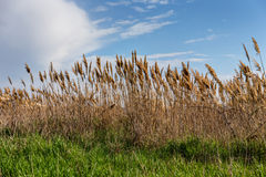 Reeds on the shore Stock Photo