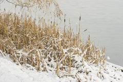 Reeds on the shore of a frozen pond in the snow Royalty Free Stock Image