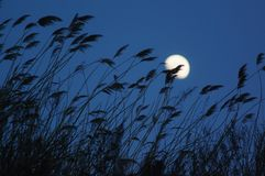 Reeds silhouette and moon royalty free stock images