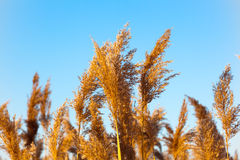 Reeds in the sky Stock Photo