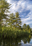 Reeds and sky reflected in water. Reeds, sky, and trees reflected in calm water of Squam River, New Hampshire Stock Image