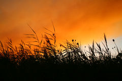 Reeds At Smokey Sunset Royalty Free Stock Photos