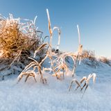 Reeds in the snow Royalty Free Stock Image