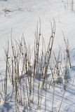 Reeds in the snow. Enochdhu, Perthshire, Scotland Uk Stock Photos