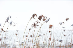 Reeds with snow Royalty Free Stock Photography