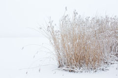 Reeds in snowy winter Stock Photography