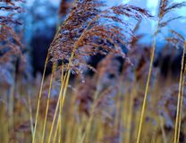 Through the reeds. Strolling through the reeds on Conwy nature reserves Royalty Free Stock Images