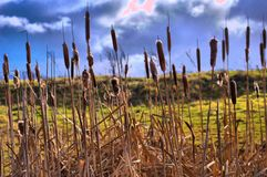 Through the reeds. Strolling through the reeds on Conwy nature reserves Stock Image