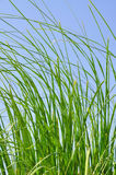 Reeds in summer Stock Image