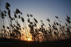 Reeds in the sun. Image shows reeds against a setting sun Stock Image