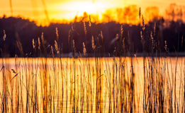 Reeds and sundown Royalty Free Stock Images