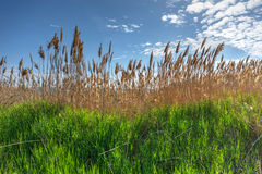 Reeds on a sunny day Royalty Free Stock Photography