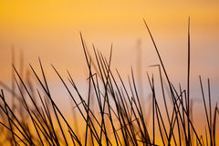 Reeds at sunrise. Reeds intersect each other as the sunrise creates a colorful backdrop Royalty Free Stock Image