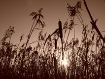 Reeds at sunrise Sepia Stock Photos