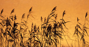 Reeds at sunrise Stock Photography