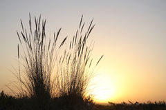 Reeds at sunset. On a beach in Portugal's Algarve Region Stock Photos