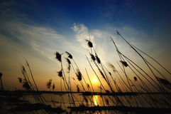 Reeds and sunset. The reeds in the front of the lake Royalty Free Stock Image