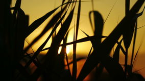 The Reeds on Sunset Background stock video