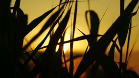The Reeds on Sunset Background stock video footage
