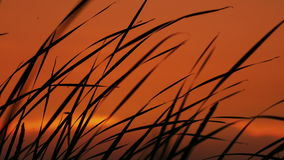The Reeds on Sunset Background stock footage