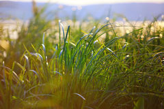 Reeds at sunset. Backlit by the evening sun Royalty Free Stock Image