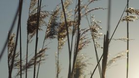 Reeds at sunset stock video