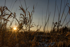 Reeds at sunset. Reeds in front of blue sky at warm sunset Royalty Free Stock Image